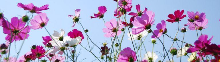 Cosmos-grow-cut-garden