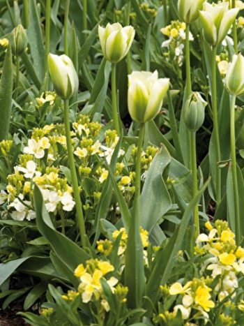 White and yellow tulips in a garden