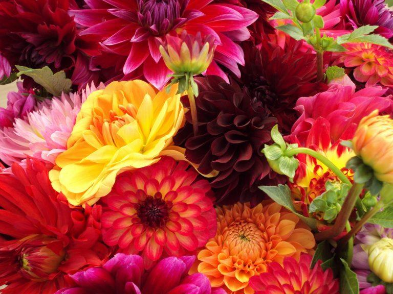 dahlias-flowers-red-orange