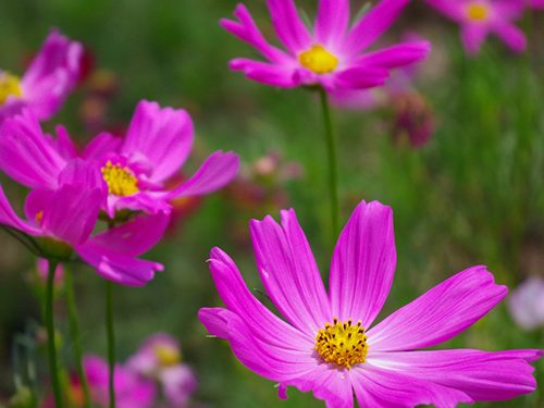 pink cosmos cut flower garden product