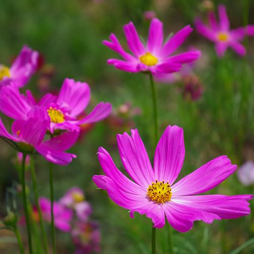 pink cosmos cut flower garden product